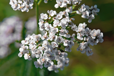 milfoil: White yarrow flowers on a background of green grass