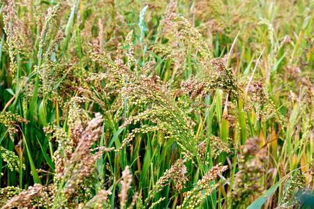 maturing: Maturing broom millet spikes in the field against a background of green leaves
