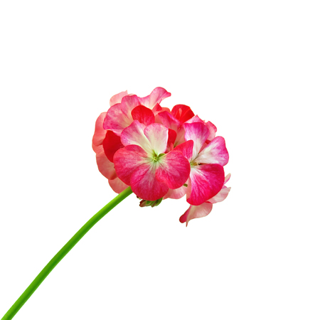 inflorescence: Inflorescence red and white geranium isolated on white background