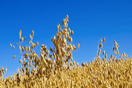 Golden stalks of oats against the blue sky Stock Photo