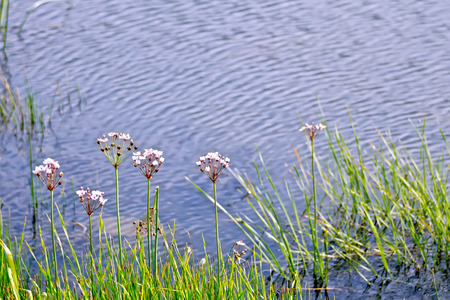 White and pink Butomus umbellatus flowers against the background of the lake water