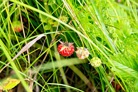 Wild ripe strawberries on the background of green grass