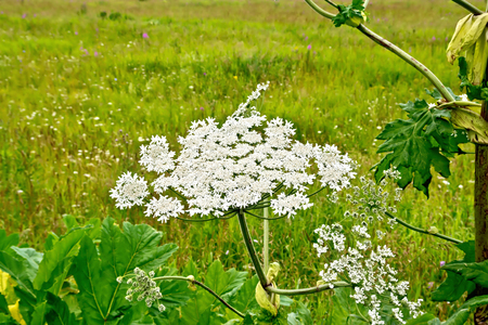 Blooming of white flowers the umbrella Heracleum Sosnowski on the background of grass Stock Photo