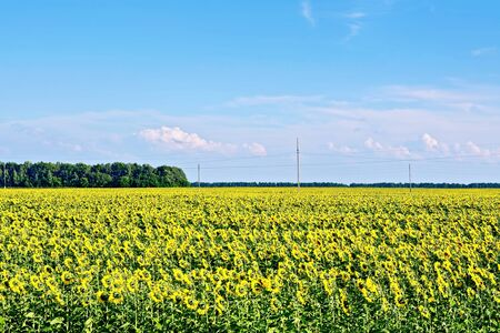 Field with yellow flowers of sunflower, trees against the blue sky and clouds