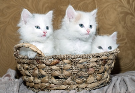 Three kittens in a basket Stock Photo