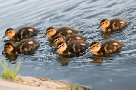 A flock of young ducks