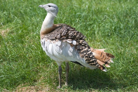 Great Bustard, Otis tarda photo