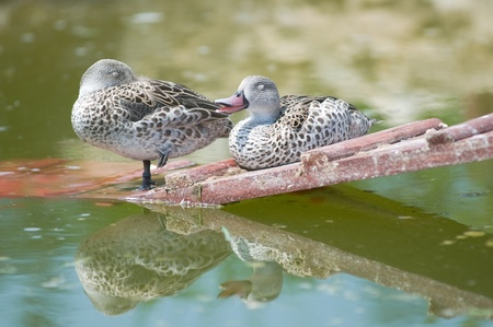 anas: Cape Teal (Anas capensis) Stock Photo