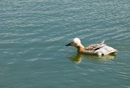 crested duck: Crested Duck (Lophonetta specularioides)  Stock Photo