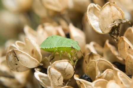 palomena: Green shield bug (Palomena prasina)