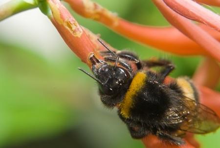 Bumblebee drink nectar Stock Photo - 10097814