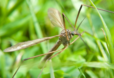 tipulidae: Macro of a crane fly on wildflower. Crane fly
