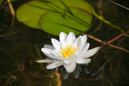 White water-lily and its reflection. photo