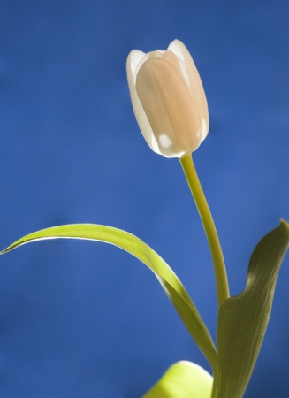 Tulip on a blue background  Stock Photo