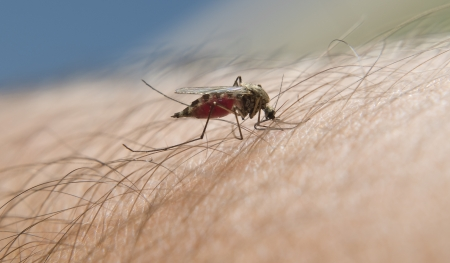 Mosquito close up on human skin Stock Photo