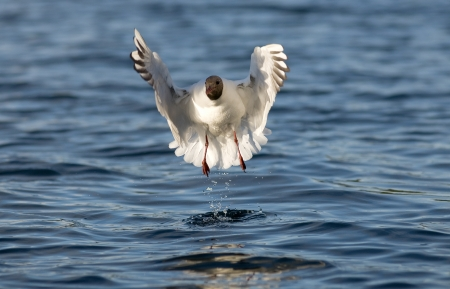 Black-headed Gull photo