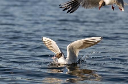 Black-headed gulls hunt Stock Photo - 15697789