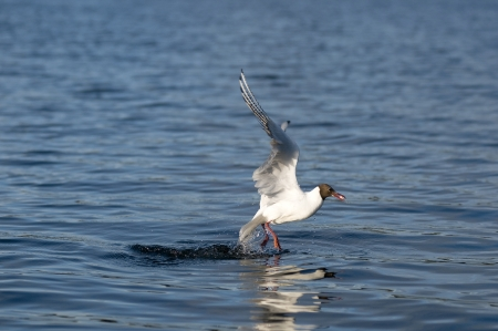 Black-headed gulls hunt photo