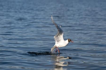 Black-headed gulls hunt Stock Photo - 15697803
