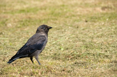 jackdaw: A jackdaw stood on the grass in sunlight  Stock Photo