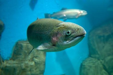 Truite arc ou de truite saumonée Oncorhynchus mykiss sous l'eau close-up