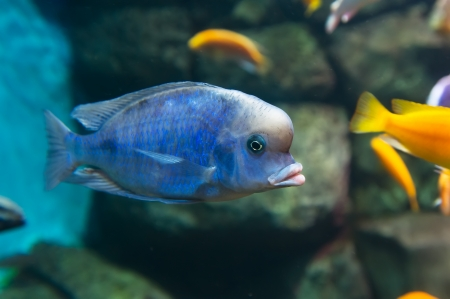 Blue Dolphin  Cyrtocara moorii  Stock Photo - 19118273