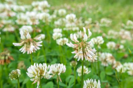 trifolium repens: White clover (Trifolium repens)