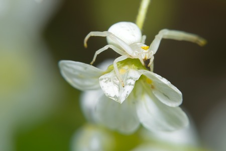 goldenrod crab spider: Spider sitting on a small white flower. Macro photo.