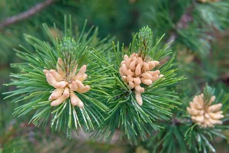 pinus sylvestris: Pine, Pinus sylvestris, male inflorescence Stock Photo