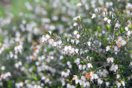 erica: Beautiful flowers Myretoun Ruby. Erica carnea, macro photo