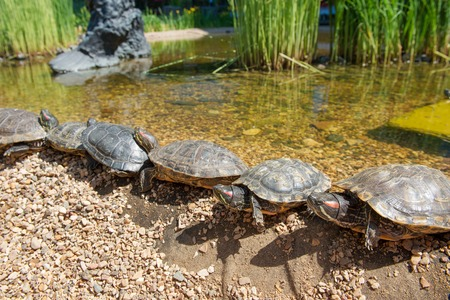 slider: Group Red-eared slider resting on the shore. Turtle lined Stock Photo