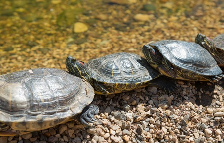 plastron: Group Red-eared slider resting on the shore. Turtle lined Stock Photo