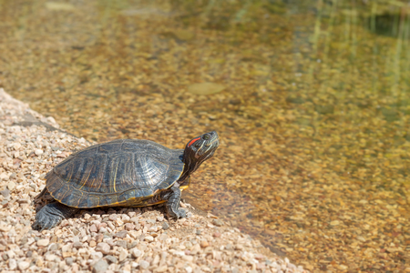 water turtle: Red-eared slider is looking at the water. Turtle resting on the beach