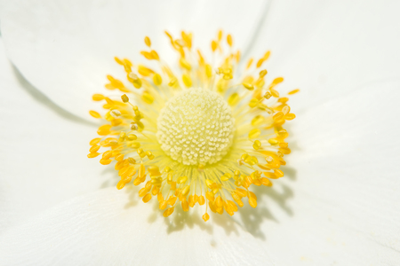 the stamens: Beautiful yellow core, pistil and stamens, white flower