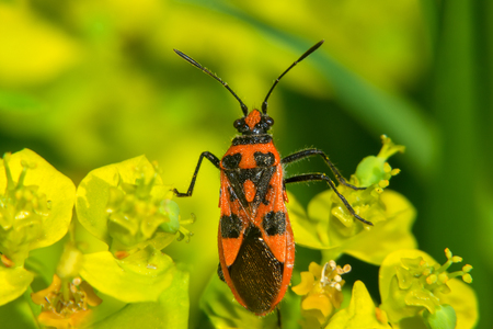 Red and black beetle on the green grass Stock Photo