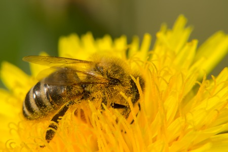 Bee on yellow flower collects nectar