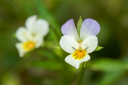smaller: Small white wildflower, smaller than one centimeter