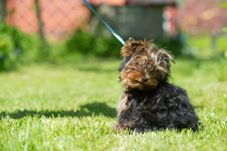 Puppy Yorkshire Terrier was offended and turned away from the hostess