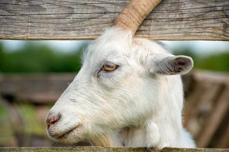 Portrait of a goat looking out paddock