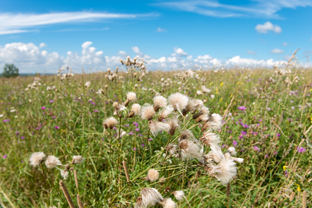The Thistle field in the summer in the field Stock Photo