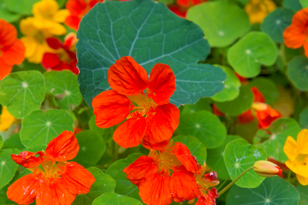 Orange Bloomed Nasturtium in Garden. A popular ornamental plant. Beautiful flowers closeup. Floral background