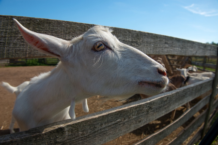 Curious goat dreamily looks at the blue sky from the paddock