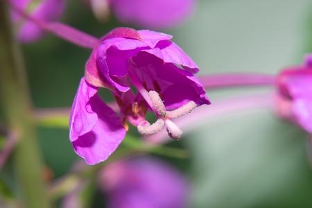 Closeup of a flowered flower field geranium Archivio Fotografico