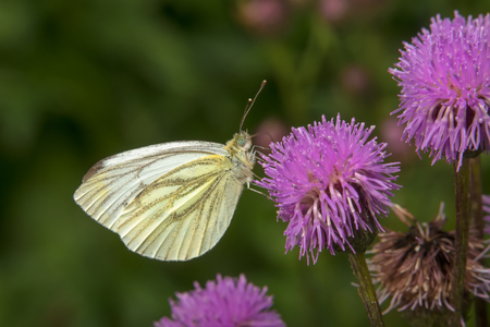 Cabbage White butterfly or White Cabbage on a burdock flower Reklamní fotografie