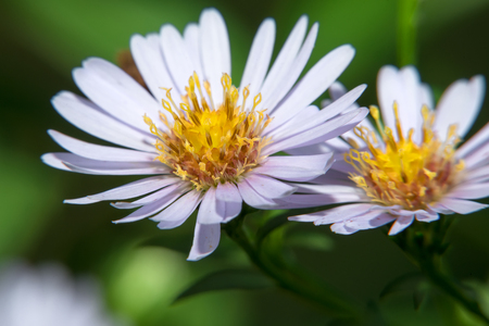 Garden daisy flower. Spring blossom background. Garden flower. Wild flower