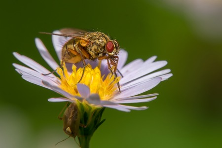 A beautiful big fly sits on a garden daisy Reklamní fotografie