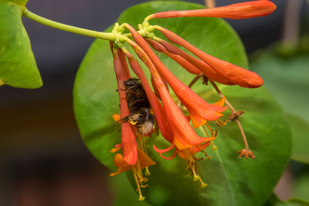 Bumblebee collects nectar from flowers Honeysuckle Brown Reklamní fotografie