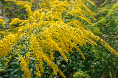 Solidago virgaurea (European goldenrod or woundwort) is an herbaceous perennial plant of the family Asteraceae Reklamní fotografie