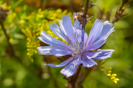 Common chicory (lat. Cichórium íntybus). Wildflower Closeup