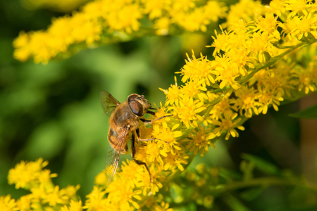 A big fly collects nectar from flowers on a large flowering yellow bush